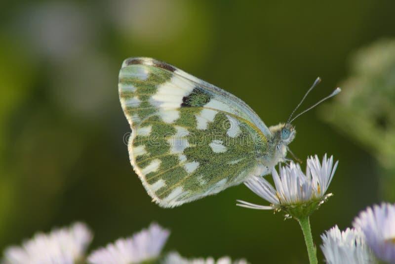 Farfalla di giorno immagini stock