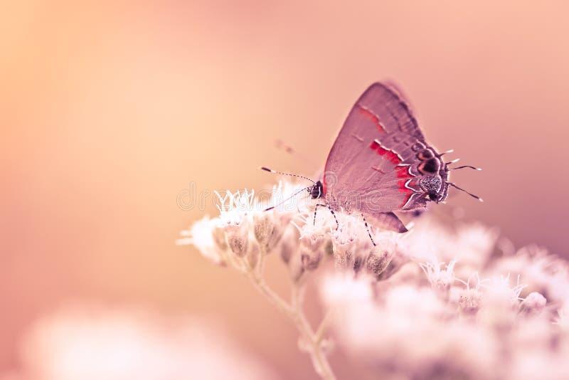 Farfalla di Hairstreak sul fiore immagine stock