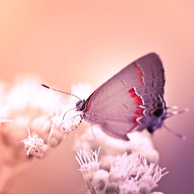 Farfalla di Hairstreak sul fiore bianco fotografia stock