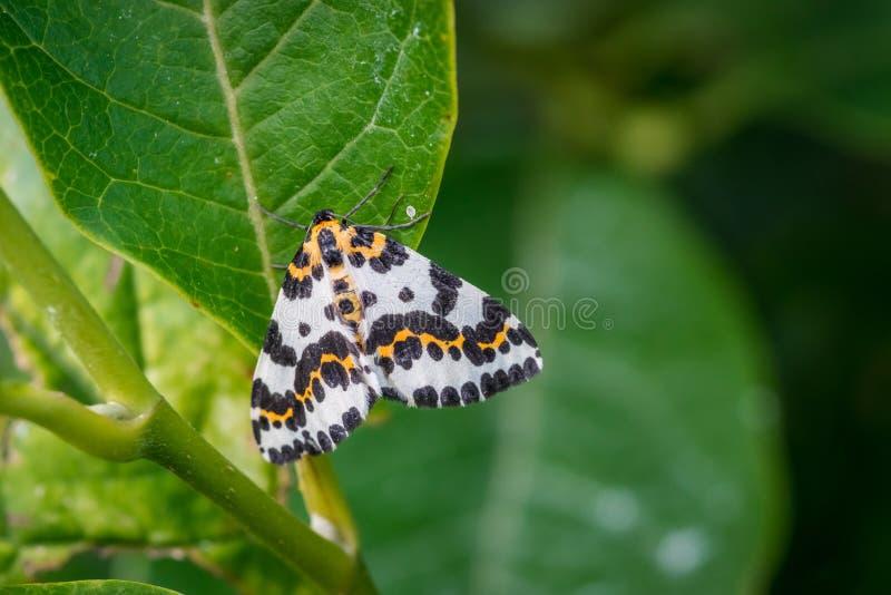 Farfalla di Harlekin in un giardino verde fotografia stock libera da diritti
