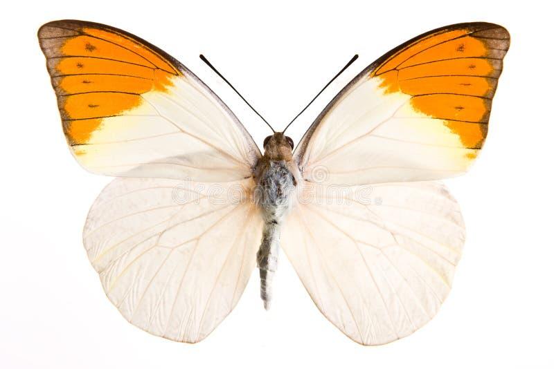 Farfalla di Hebomia fotografia stock libera da diritti
