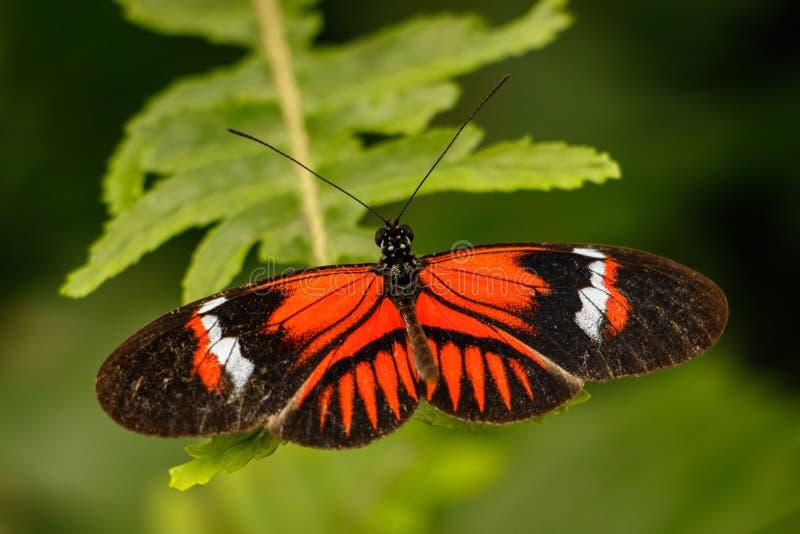 Farfalla di Heliconius immagini stock libere da diritti