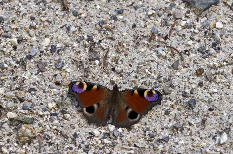 Farfalla di io del Nymphalis fotografia stock libera da diritti