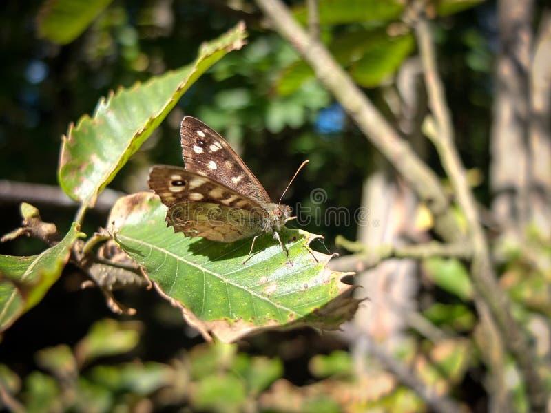 Farfalla di legno macchiata immagine stock libera da diritti