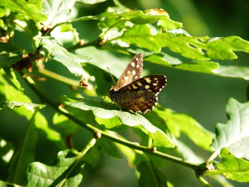 Farfalla di legno macchiata che riposa sulla molla a lamelle fotografia stock