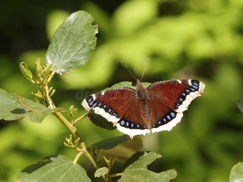 Farfalla di mantello di dolore - antiopa del Nymphalis immagini stock
