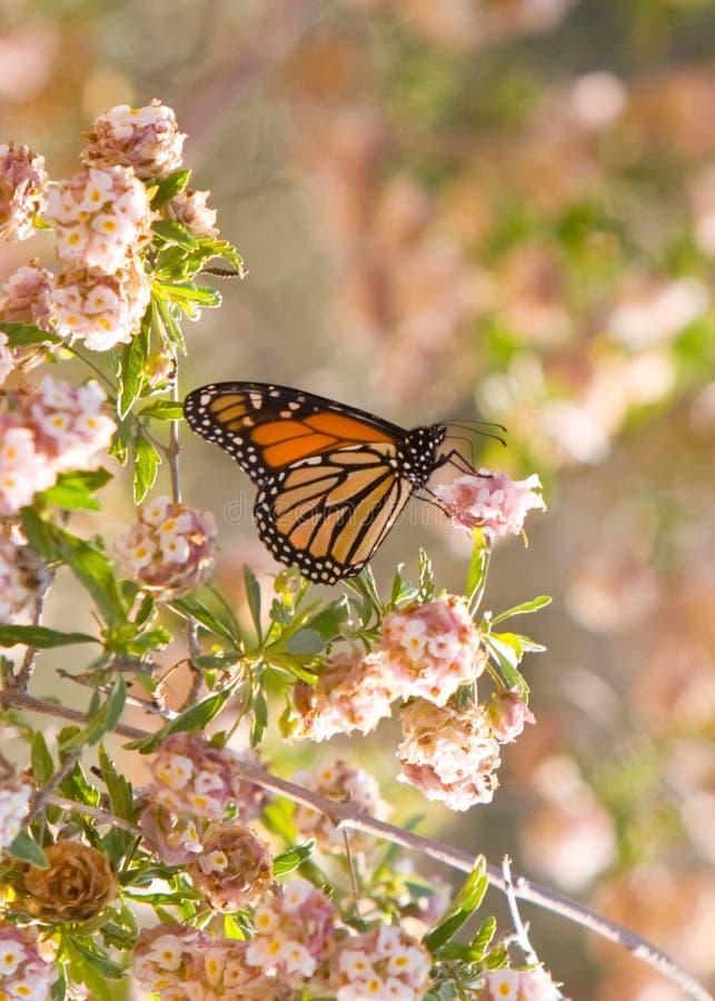 Farfalla di monarca immagini stock libere da diritti
