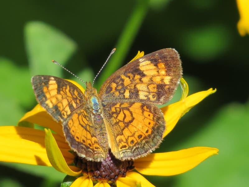 Farfalla di monarca immagini stock