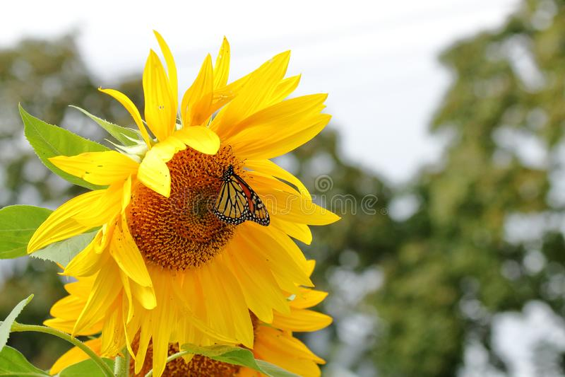 Farfalla di monarca ai girasoli giganti fotografia stock libera da diritti