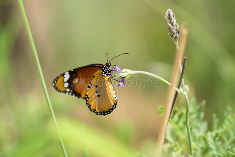 Farfalla di monarca alla casa della farfalla in zoo fotografia stock