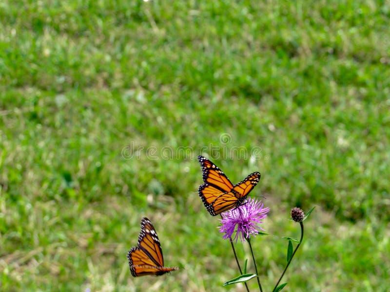 Farfalla di monarca appollaiata su un fiore porpora fotografia stock