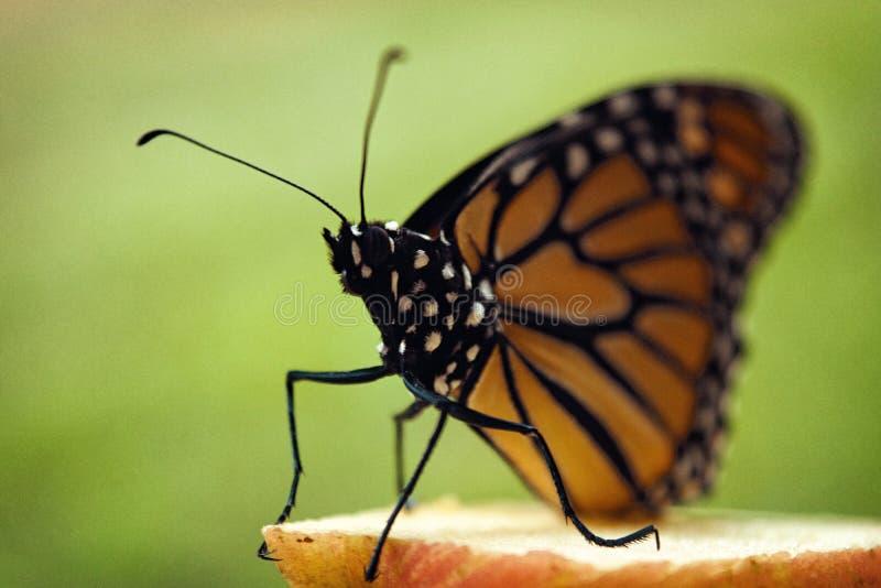Farfalla di monarca appollaiata sulla mela fotografia stock