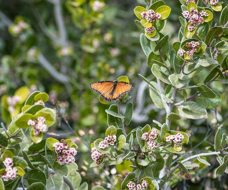 Farfalla di monarca arancio luminosa accoccolata fra le foglie verdi fotografie stock