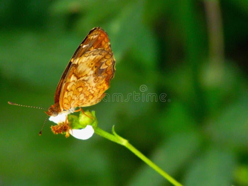 Farfalla di monarca arancio su un piccolo fiore fotografie stock libere da diritti
