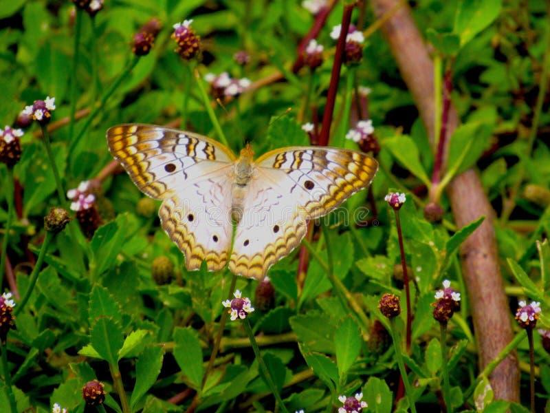 Farfalla di monarca bianca con le ali spante immagini stock libere da diritti