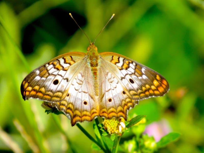 Farfalla di monarca bianca maestosa che si siede su una piccola pianta fotografia stock libera da diritti