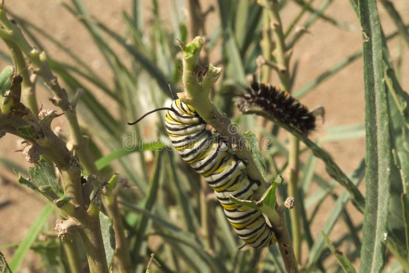 Farfalla di monarca Caterpillar immagine stock