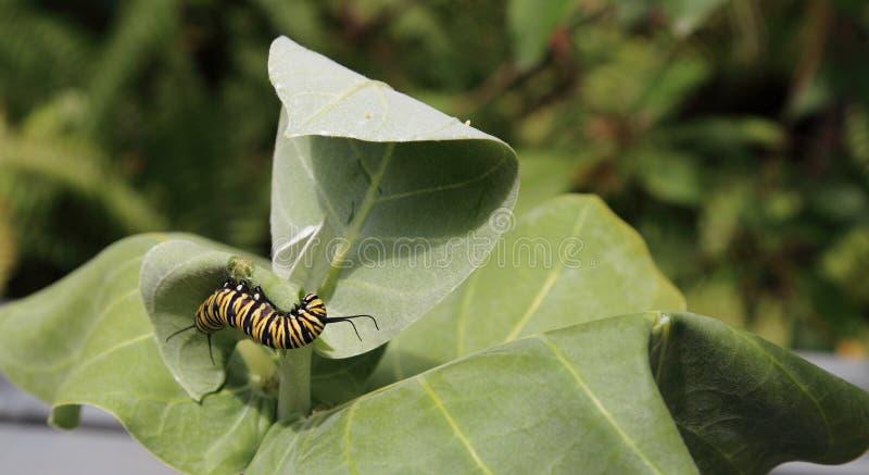 Farfalla di monarca Caterpillar fotografie stock