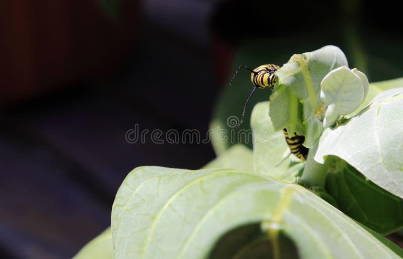 Farfalla di monarca Caterpillar immagini stock