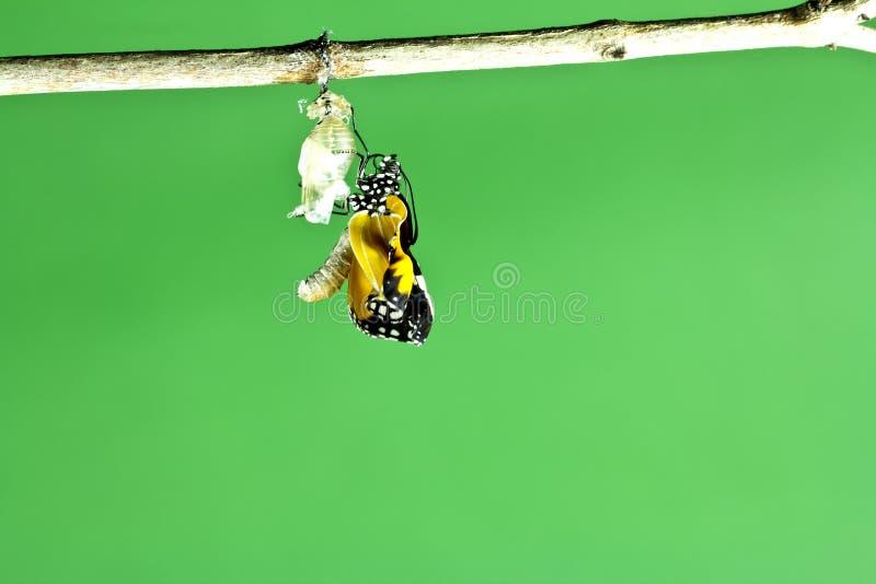 Farfalla di monarca che emerge immagine stock libera da diritti