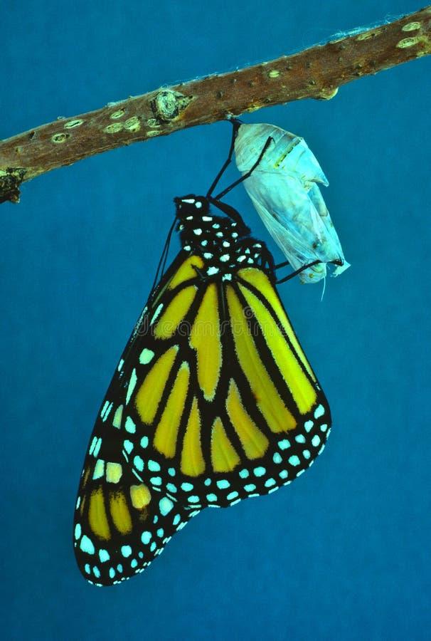 Farfalla di monarca che emerge dalla crisalide fotografia stock