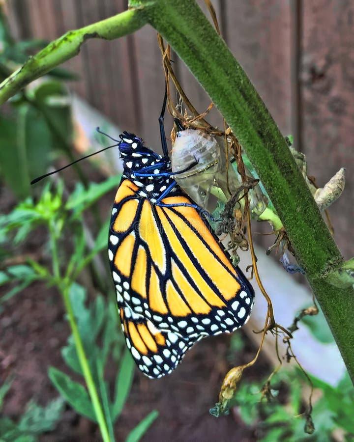 Farfalla di monarca che emerge dalla crisalide immagini stock