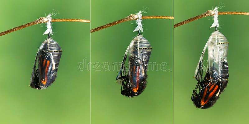 Farfalla di monarca che emerge dalla crisalide alla farfalla fotografie stock
