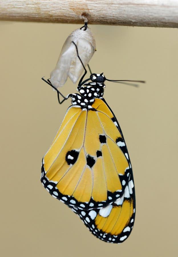 Farfalla di monarca che emerge dalle crisalidi immagine stock
