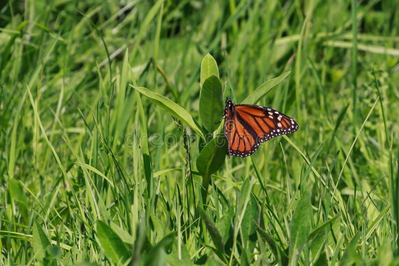 Farfalla di monarca che fa un uovo su una pianta comune del milkweed immagini stock libere da diritti