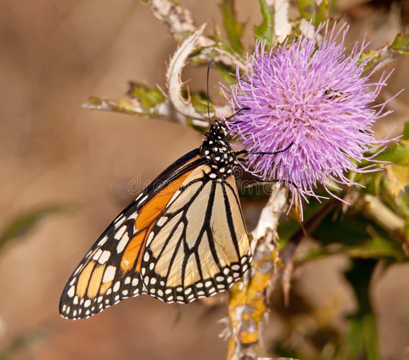 Farfalla di monarca che si alimenta su un cardo selvatico viola fotografia stock