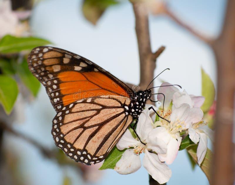 Farfalla di monarca che si alimenta sul fiore della mela fotografia stock