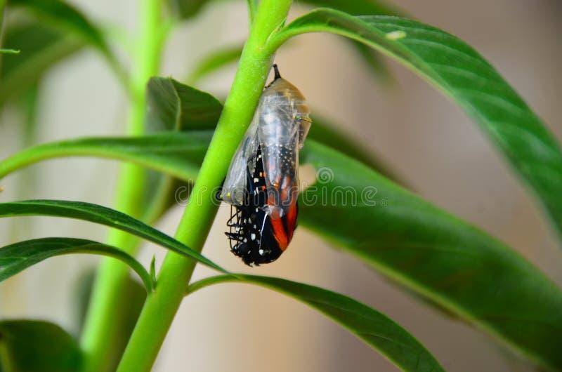 Farfalla di monarca Chrysalis immagini stock