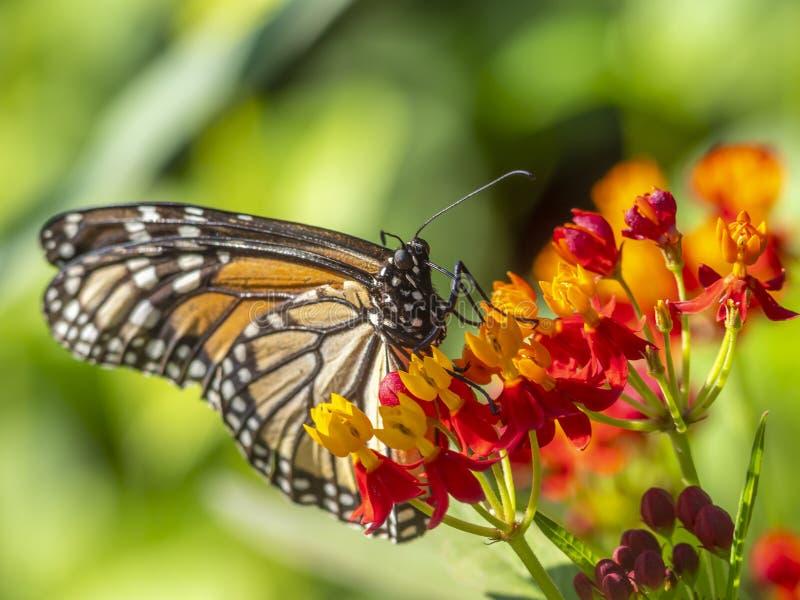 Farfalla di monarca, danaus plexippus immagini stock