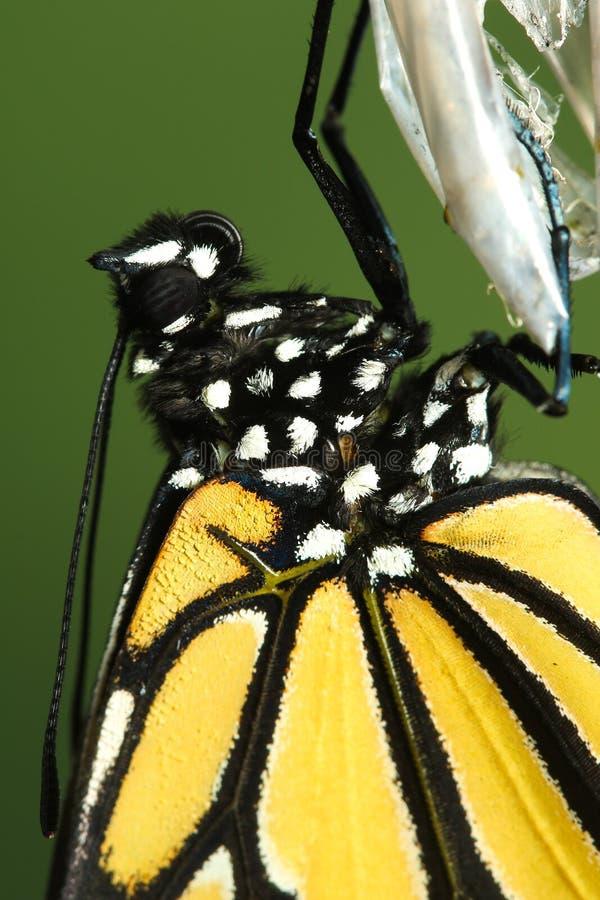 Farfalla di monarca, dettaglio di danaus plexippus immagini stock