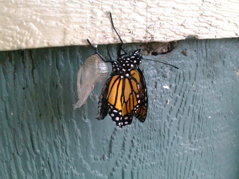 Farfalla di monarca emergente immagini stock libere da diritti