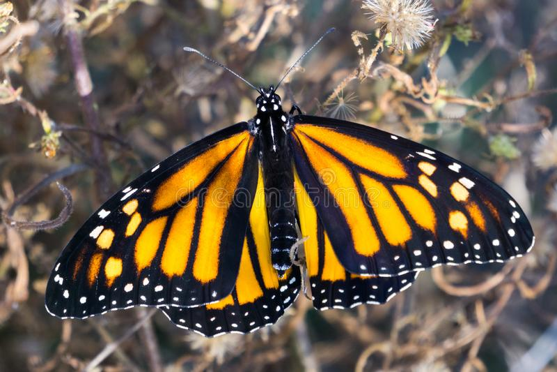 Farfalla di monarca femminile con la diffusione delle ali, California fotografia stock libera da diritti