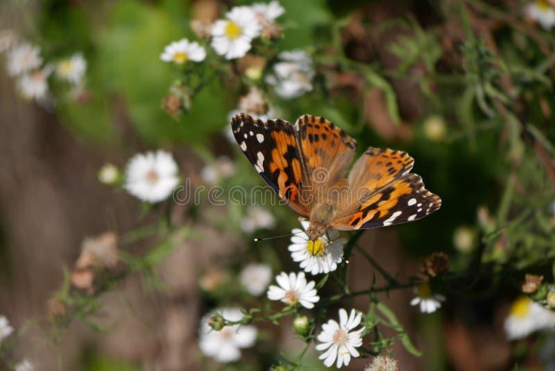 Farfalla di monarca macchiata splendida sui piccoli fiori bianchi fotografia stock libera da diritti
