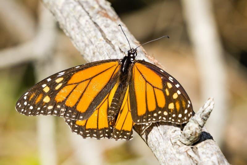 Farfalla di monarca maschio che riposa su un ramo, Half Moon Bay, California fotografia stock