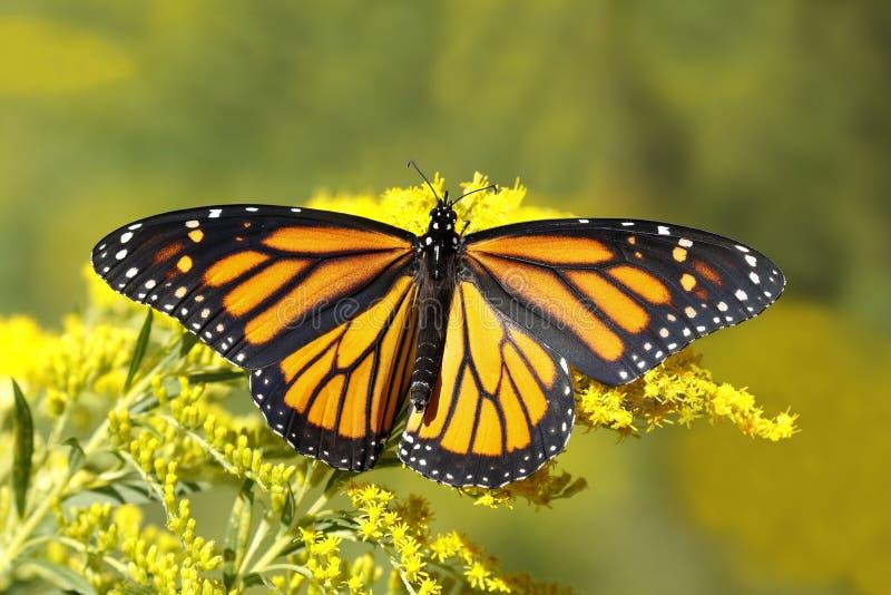 Farfalla di monarca Nectaring sulla verga aurea del Canada immagine stock libera da diritti