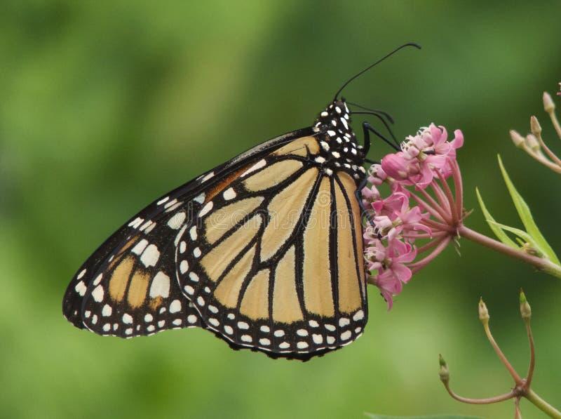 Farfalla di monarca nel profilo sul Milkweed fotografia stock libera da diritti