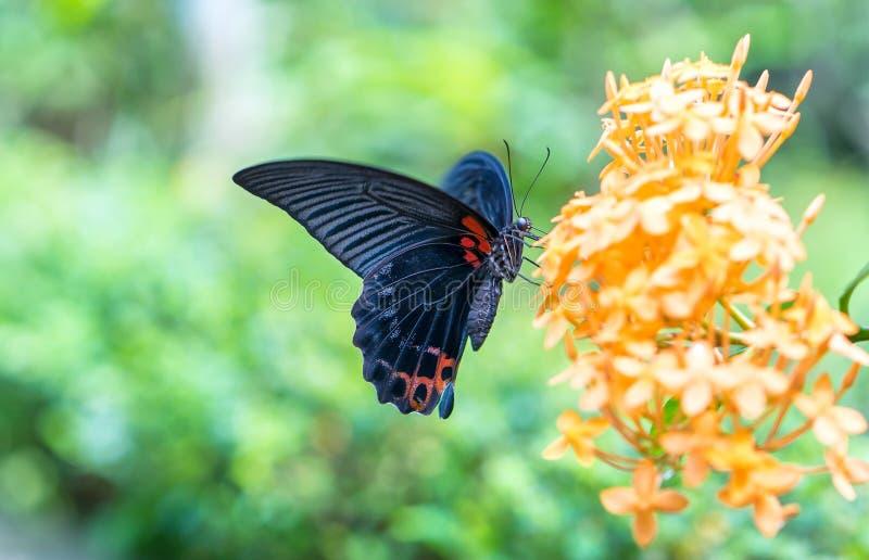 Farfalla di monarca parcheggiata sul gambo di fiore immagini stock libere da diritti