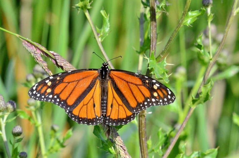 Farfalla di monarca in prato fotografia stock