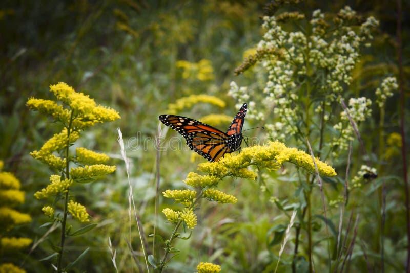 Farfalla di monarca in primavera nelle montagne bianche fotografia stock