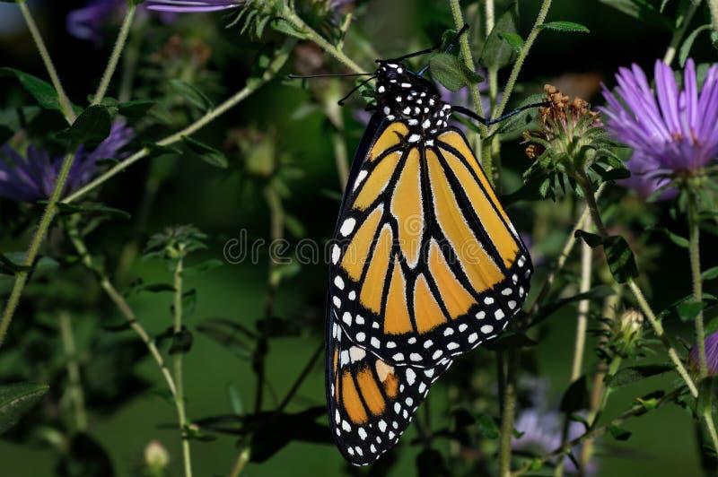 Farfalla di monarca recentemente emergente immagini stock libere da diritti