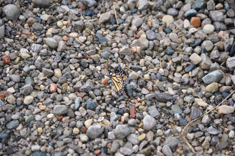 Farfalla di monarca su ghiaia fotografia stock libera da diritti