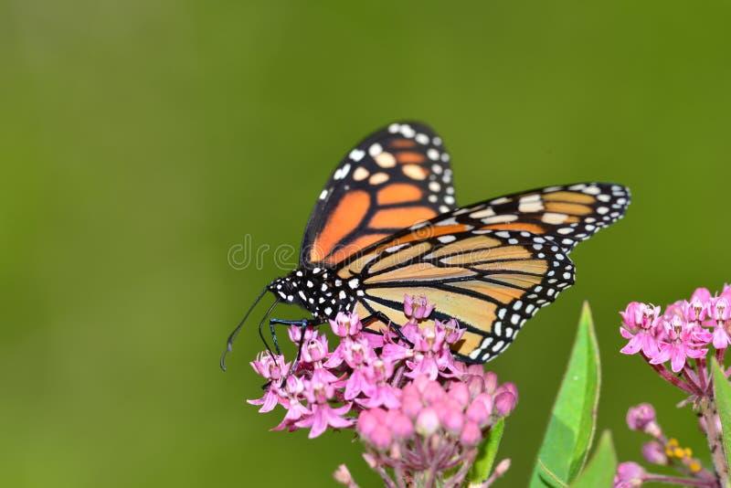 Farfalla di monarca su kolanchoe rosa immagini stock