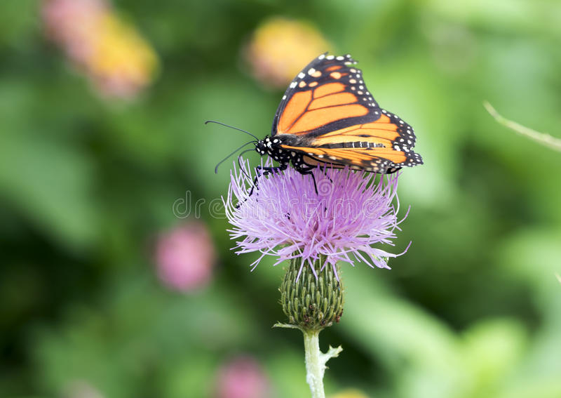 Farfalla di monarca su un cardo selvatico di latte fotografie stock