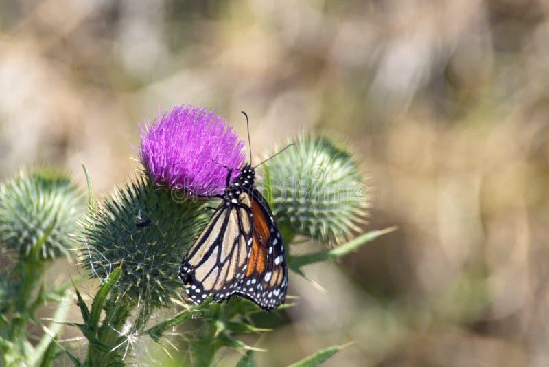 Farfalla di monarca su un cardo selvatico fotografie stock