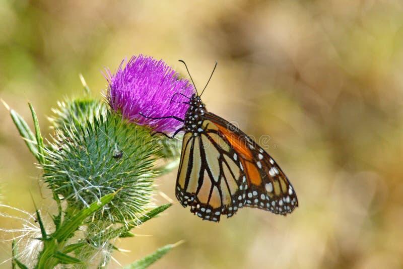 Farfalla di monarca su un cardo selvatico fotografia stock libera da diritti