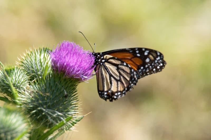 Farfalla di monarca su un cardo selvatico immagine stock